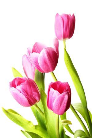Foto für Bunch of pink tulips isolated over white background - Lizenzfreies Bild