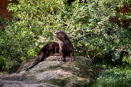 Photo pour Eurasian otter. Brown otter looking away from the camera. Otter on a rock in the wilderness looking forward. - image libre de droit