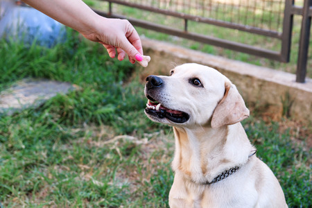 Owner feed dog. The hand of the owner of feeding their dog in the garden. A yellow labrador retriever dog with their female owners outside in a garden. People with pet, woman with dog. Pet concept.