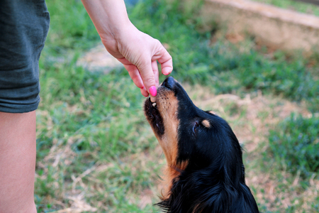 Owner feed dog. The hand of the owner of feeding their dog in the garden. A mixed breed dog with their female owners outside in a garden. People with pet, woman with dog. Lovely dog, pet concept.
