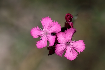 A macro photography of a Carthusian Pink Dianthus carthusianorum.