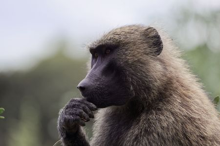 Face of an Olive Baboon (Papio anubis) in Ethiopia.