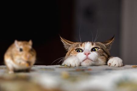 Photo pour Cat playing with little gerbil mouse on the table. - image libre de droit