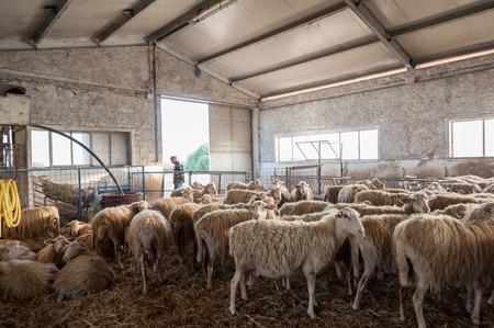 Foto de Sheep and lambs inside a farm shed, in a sunny morning - Imagen libre de derechos