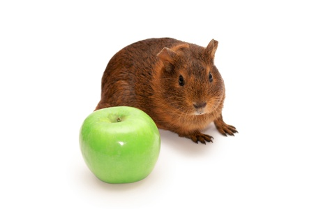 Brown guinea pig isolated on whiteの写真素材