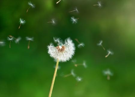 Summer blown dandelion