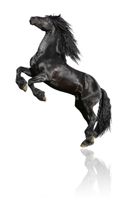 Black prancing stallion, 7 years old friesian horse, isolated on white