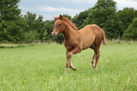 Sorrel Solid Paint Foal Running In A Field