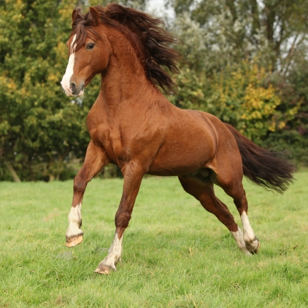 Nice chestnut welsh pony stallion jumping on pasturage in autumn
