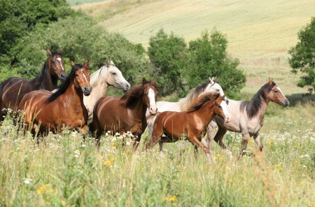 Herd Of Horses Galloping Through The Pasture