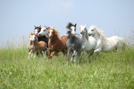 Batch of nice welsh ponnies running together on green pasturage