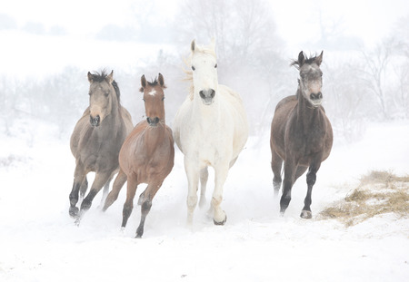 Herd Of Horses Galloping In The Winter