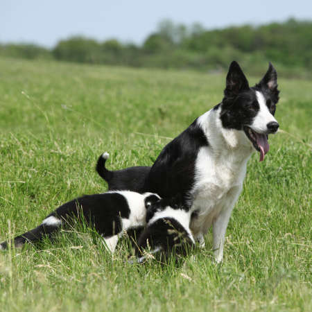 Photo pour Border collie bitch with its pupies in the grass - image libre de droit