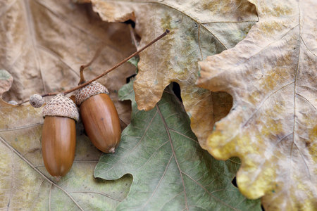 Foto per Acorns from oak lie on yellow leaves close-up - Immagine Royalty Free