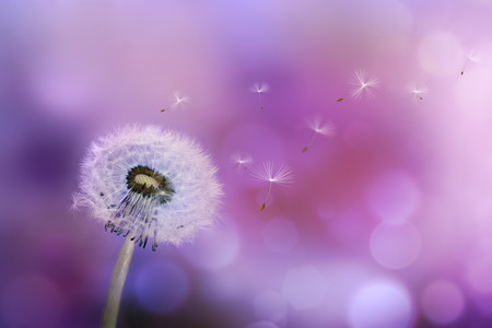 Dandelion blowing seeds in the wind against a violet background