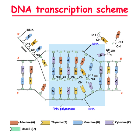 Illustration pour DNA transcription. DNA and RNA structure helix colore on white background. Nucleotide, Phosphate, Sugar, and bases. education vector info graphic. Adenine, Thymine, Guanine, Cytosine. - image libre de droit