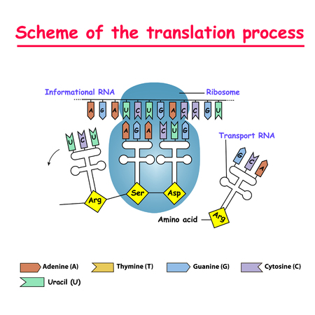 Illustration pour Scheme of the translation process. syntesis of mRNA from DNA in the nucleus. The mRNA decoding ribosome is a binding sequence for mRNA codons. - image libre de droit
