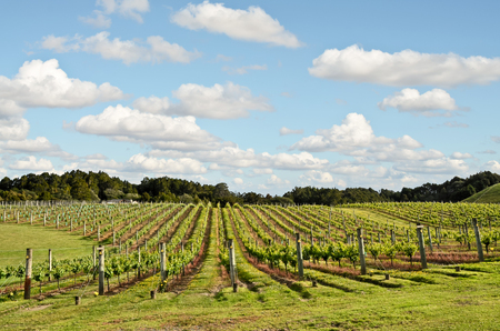 Vineyard in New Zealand - North Island