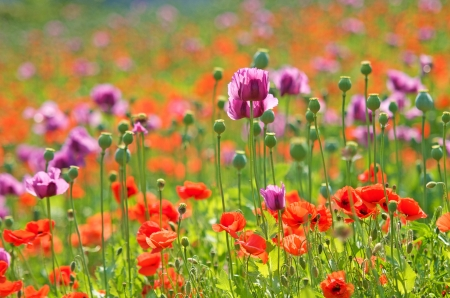 a field with lilac and red poppies