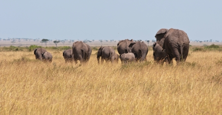 back view of a herd of elephants - in the savannah of kenya - national park masai mara