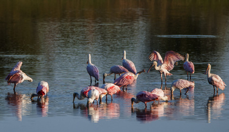 roseate spoonbills drinking in the Rio Negro in Brazil - Pantanal