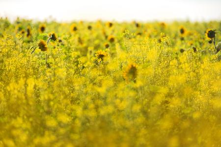 sunflowers growing in a rape field