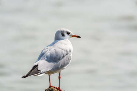 Photo for A white seagull perching at the stone at Shenzhen Bay, China - Royalty Free Image