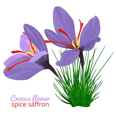 Illustration pour Vintage card with Crocus flower violet set on white background. Saffron spice. Watercolor style pattern. Vector botanical illustration - image libre de droit