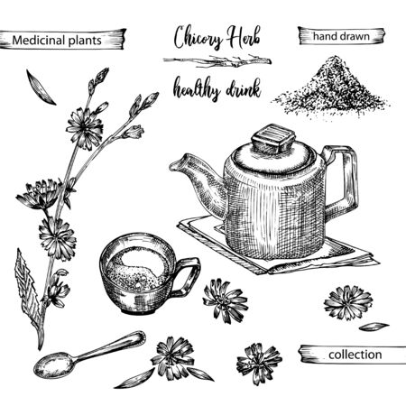 Illustration pour Realistic Botanical ink sketch of chicory root, flowers, powder, teapot, tea cup and spoon isolated on white background, floral herbs collection. Medicine plant. Vintage rustic vector illustration - image libre de droit