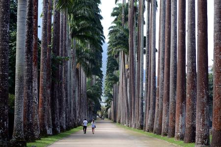 Cuban royal palm in the botanical garden, Rio de Janeiro