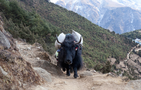 Caravan of yaks in the Nepal Himalaya. The yak a long-haired bovid found throughout the Himalaya region of south Central Asia, Tibetan Plateau and Mongolia.