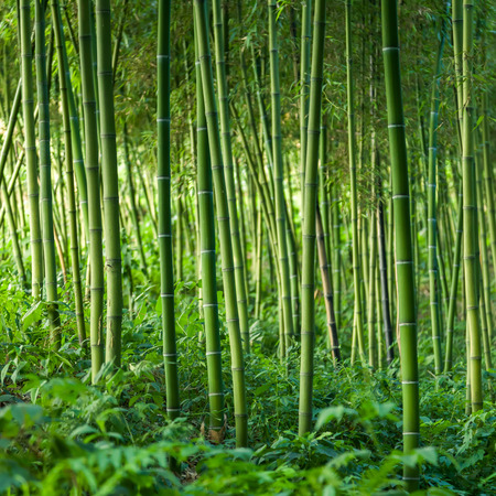 Photo for Bamboo forest background - Royalty Free Image