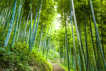Photo for Bamboo forest and walkway - Royalty Free Image