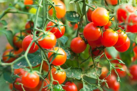 Photo pour cherry tomatoes - image libre de droit