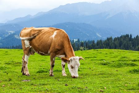 Foto de Cow eating grass - Imagen libre de derechos