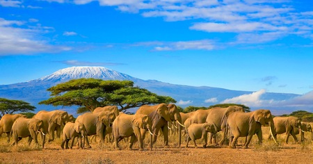 Photo for Herd of african elephants on a safari trip to Kenya and a snow capped Kilimanjaro mountain in Tanzania in the background, under cloudy blue skies. - Royalty Free Image