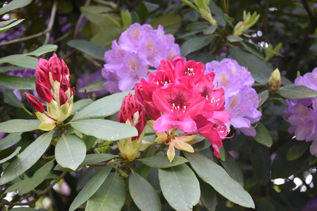 Photo pour Rhododendron flowers in the garden - image libre de droit