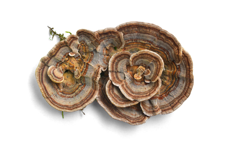 Foto de trametes versicolor mushroom, commonly the turkey tail  - Imagen libre de derechos