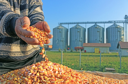 Photo pour Corn grain in a hand after good harvest of successful farmer, in a background agricultural silo - image libre de droit