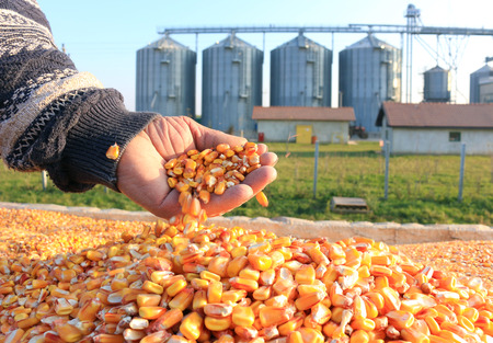 Foto de Corn grain in a hand after good harvest of successful farmer, in a background agricultural silo - Imagen libre de derechos