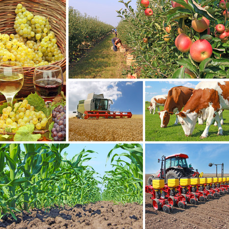 Photo for Agriculture - collage, food production - corn field, wheat harvest, tractor sowing, apple, cows on pasture, wine and grapes - Royalty Free Image