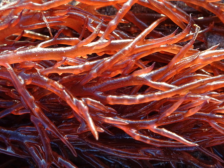 Photo pour Gracilaria red seaweed seen in details - image libre de droit