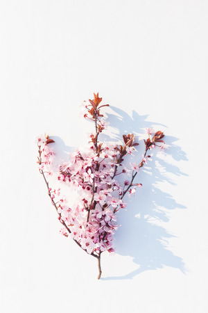 Prunus or cherry plum in blossom on white background