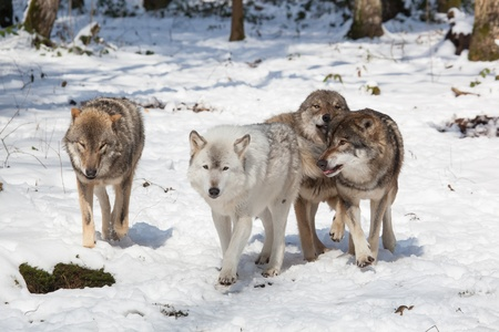 Foto de wolf pack of four timber wolves in snowy white winter forest - Imagen libre de derechos