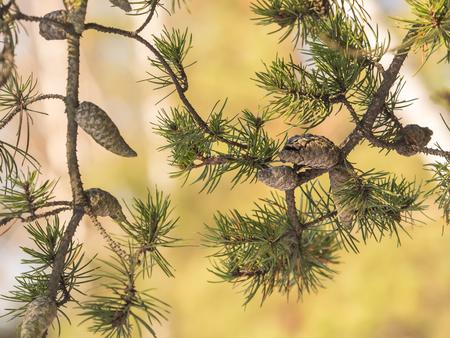 Foto für A branch of a pine tree with small, closed cones - Lizenzfreies Bild