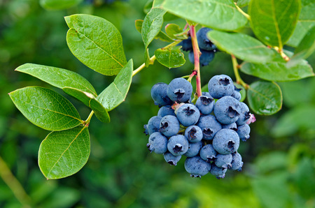 Photo for ripe blueberries on blueberry bush - Royalty Free Image