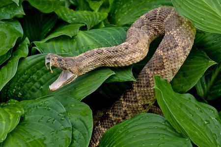 Foto de close up of rattlesnake in hosta plants with raindrops - Imagen libre de derechos