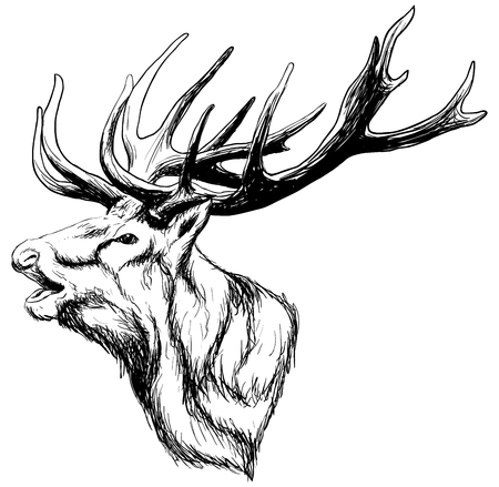Illustration pour hand drawn image of big white tail buck head with large antlers white-tail deer vector illustration animal isolated on white background for hunting products billboards website, wildlife sketch clipart - image libre de droit