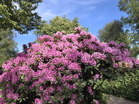 Photo pour Nature and flowers-rhododendron in the city park under summer - image libre de droit