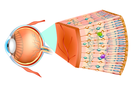 Illustration pour Structure of the human eye and organization of the retina. Optic part of retina. - image libre de droit